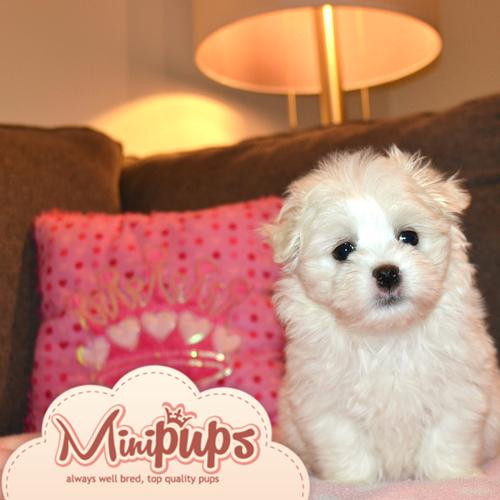 Minipups